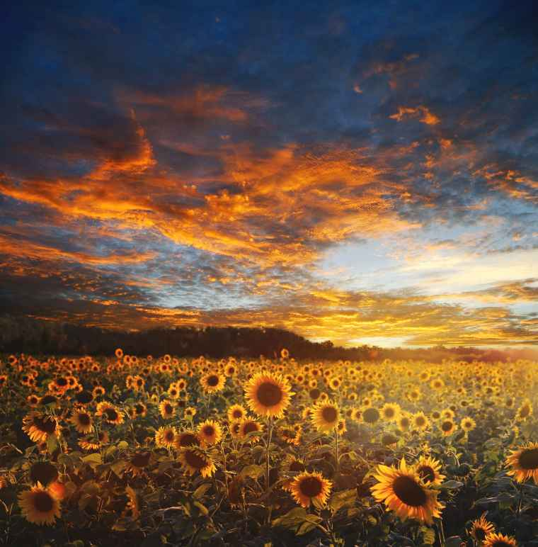 field of sunflowers with sunset